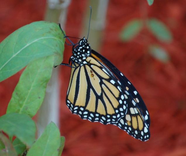 butterfly_crop_DSC_0012