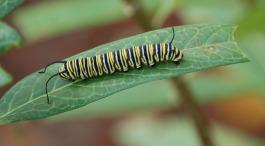 caterpillar_crop_DSC_0068