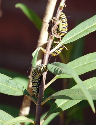 caterpillar_crop_DSC_0130