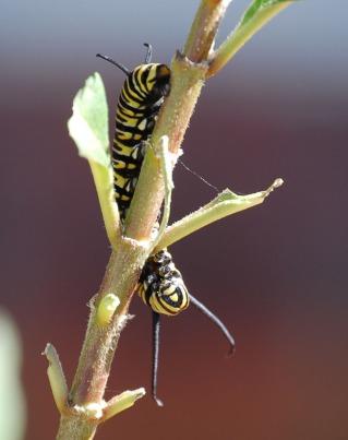 caterpillar_crop_DSC_0144
