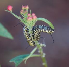 caterpillar_crop_DSC_0169
